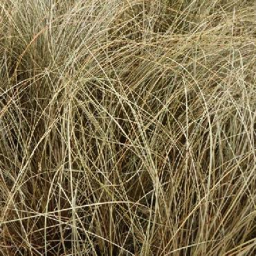 Carex comans Little red