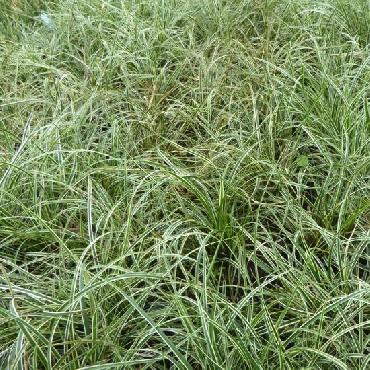 Carex conica Snowline