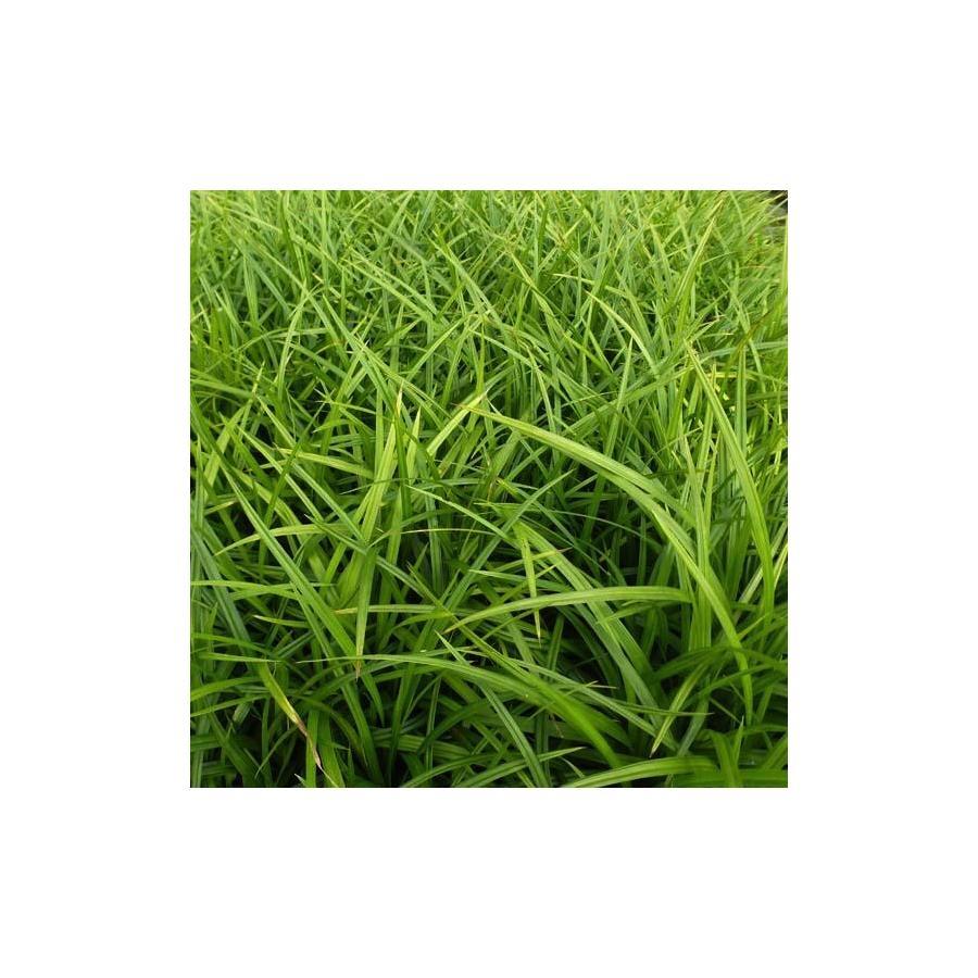Carex morrowii