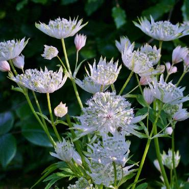 Astrantia major Super Star