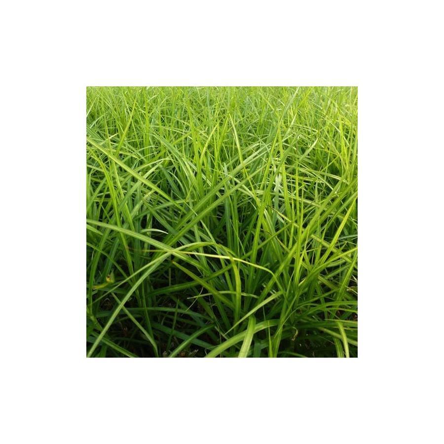 Carex muskingumensis Silberstreif