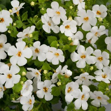 Bacopa Gulliver Dynamic White - Plante annuelle