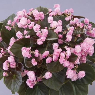 Begonia Doublet Pink - Plante annuelle