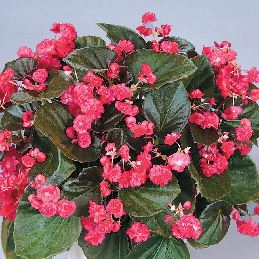 Begonia Doublet Red - Plante annuelle