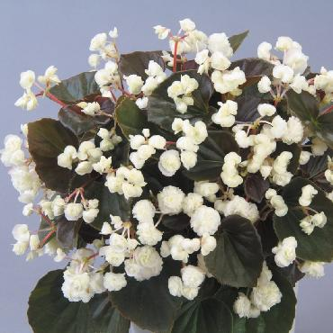 Begonia Doublet White - Plante annuelle