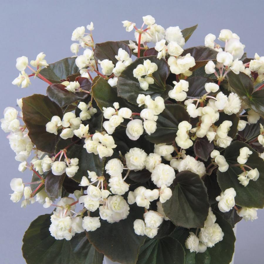 Begonia Doublet White - Plante annuelle