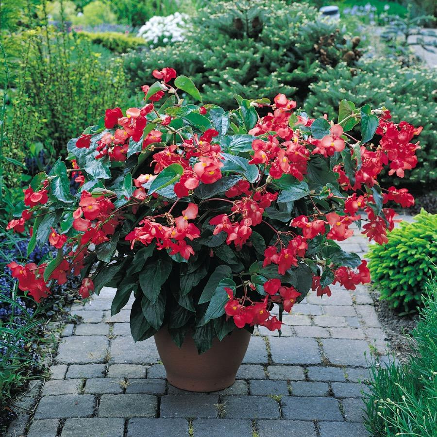 Begonia Dragon Wing Red - Plante annuelle