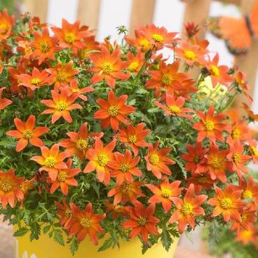 Bidens Beedance Painted Red - Plante annuelle