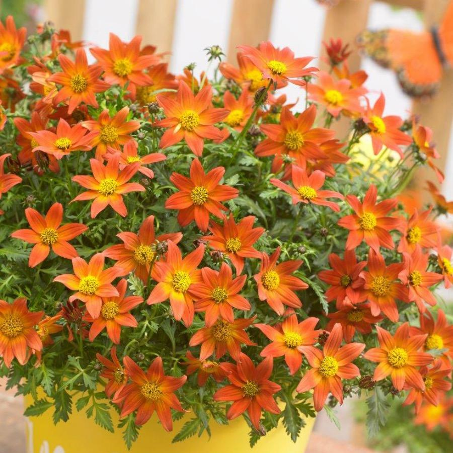 Bidens Beedance Painted Red - Plante annuelle