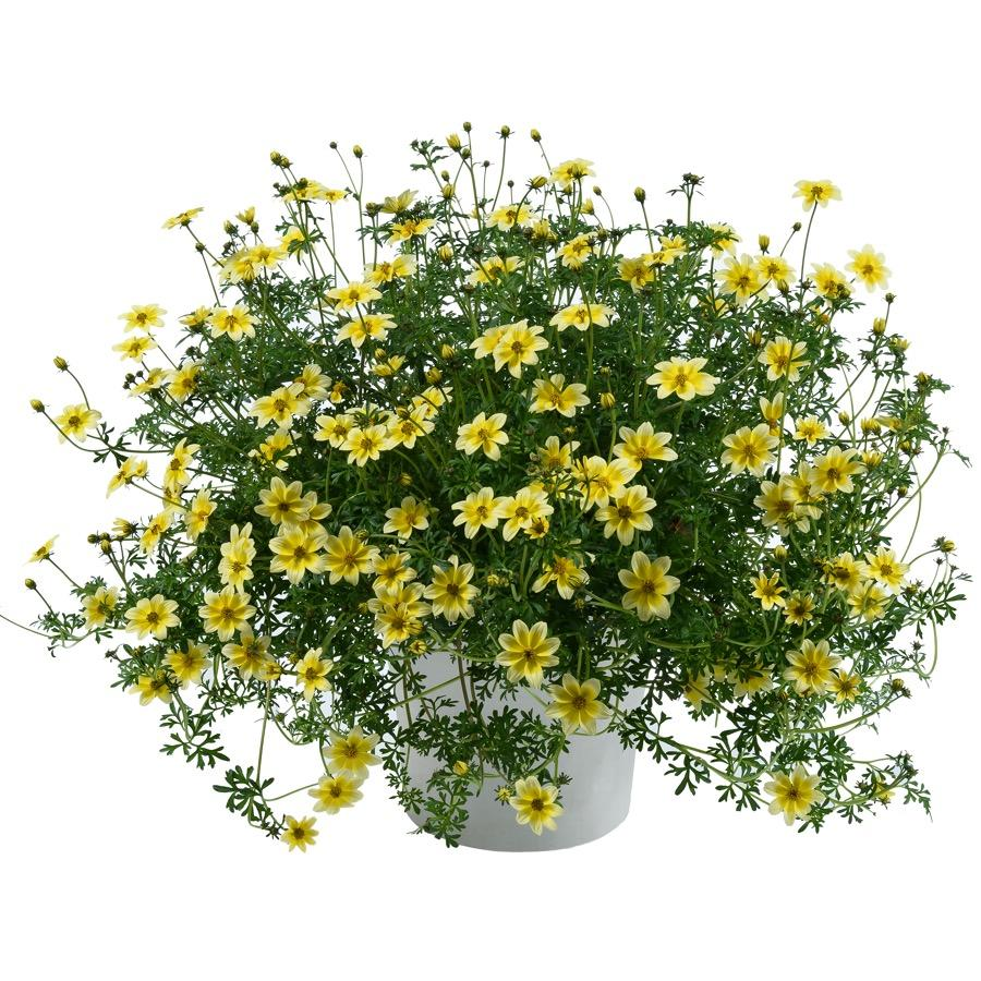 Bidens Yellow Splash - Plante annuelle