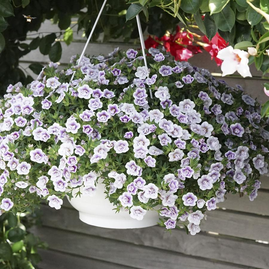 Calibrachoa Double Lavande - Plante annuelle