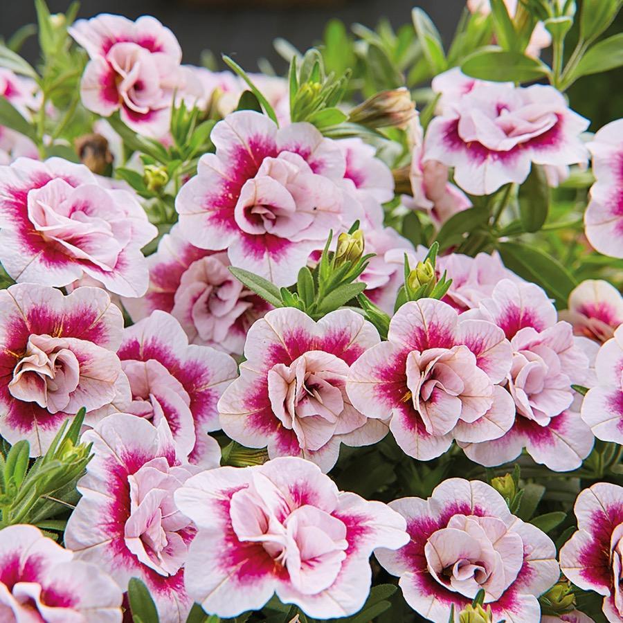 Calibrachoa Double Pink - Plante annuelle