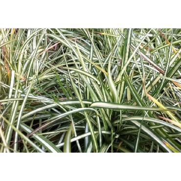 Carex ornithopoda Variegata