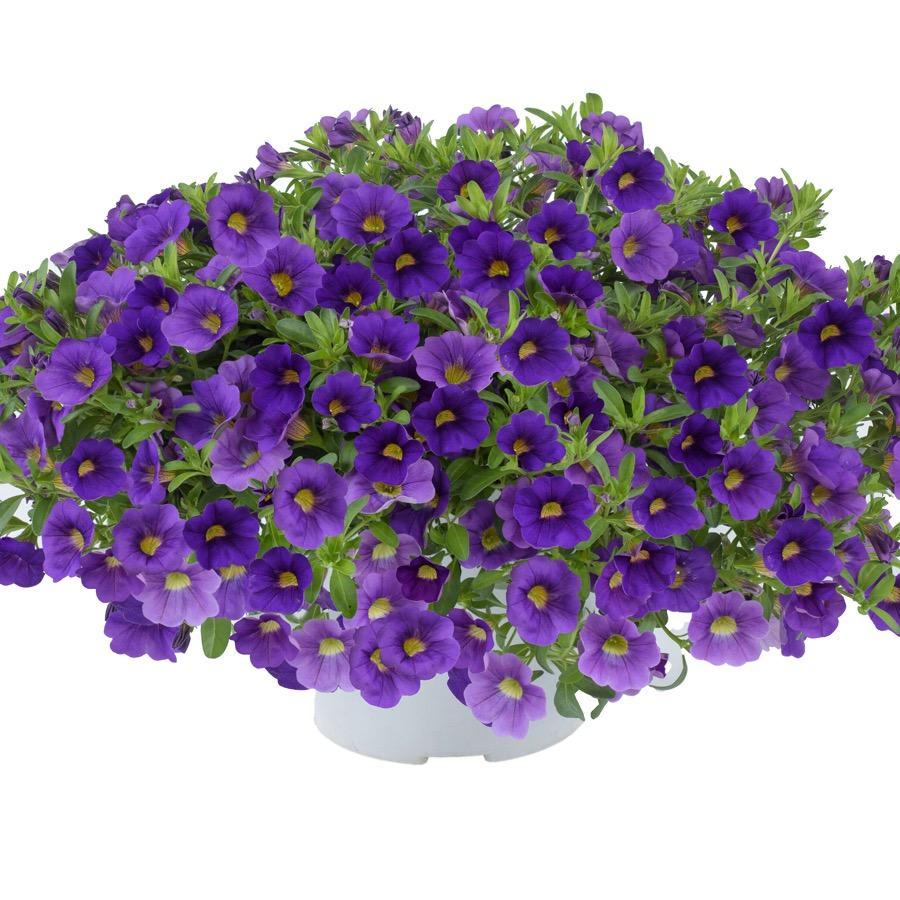 Calibrachoa Lia Blue - Plante annuelle