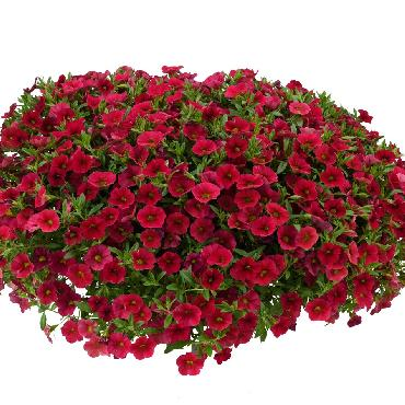 Calibrachoa Lia Dark Red - Plante annuelle