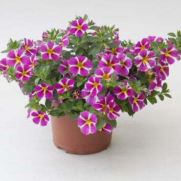 Calibrachoa Rave Pink - Plante annuelle