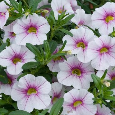 Calibrachoa Noa Almond Blossom - Plante annuelle