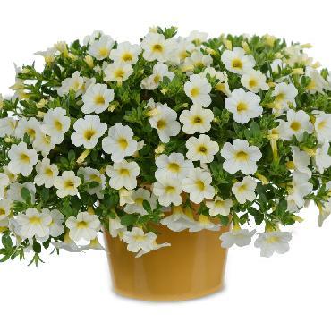 Calibrachoa Noa Snow - Plante annuelle