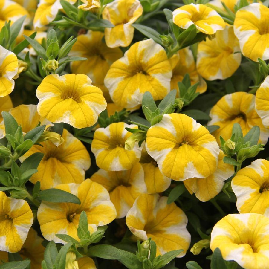 Calibrachoa Superbells Lemon Slice - Plante annuelle