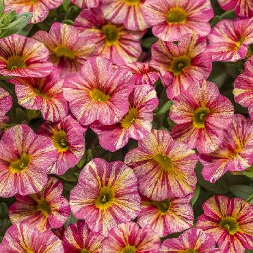 Calibrachoa Superbells Tropical Sunrise - Plante annuelle