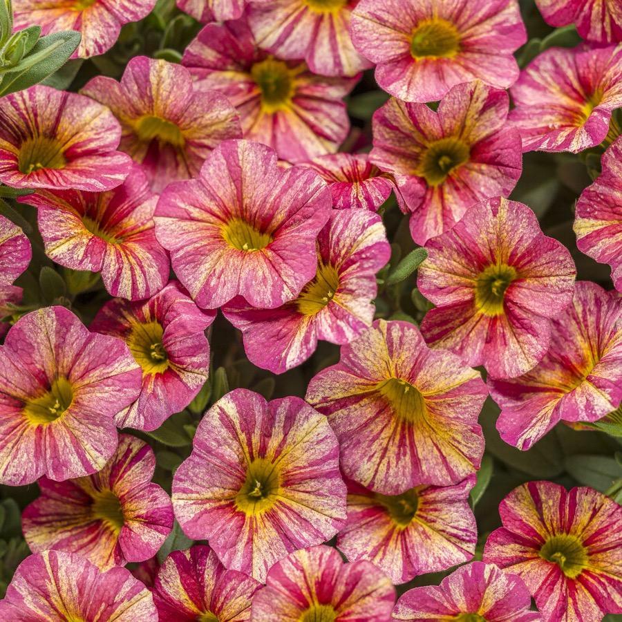 Calibrachoa Superbells Tropical Sunrise - Plante annuelle