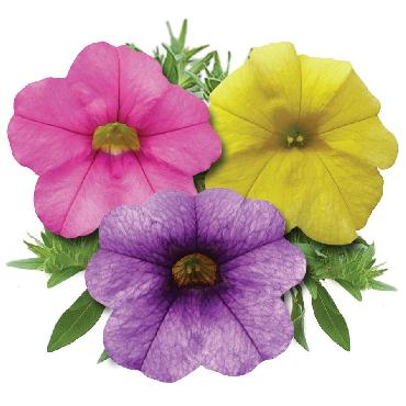 Calibrachoa Calipetite Hot Kiss - Plante annuelle