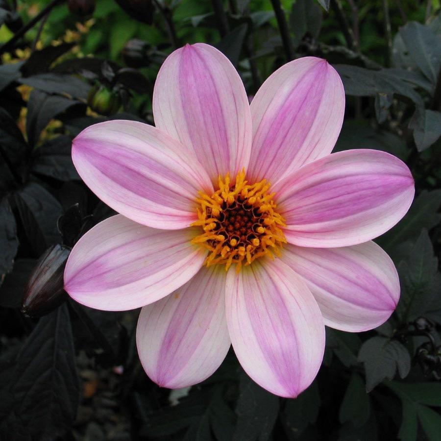 Dahlia Mystic Dreamer - Plante annuelle