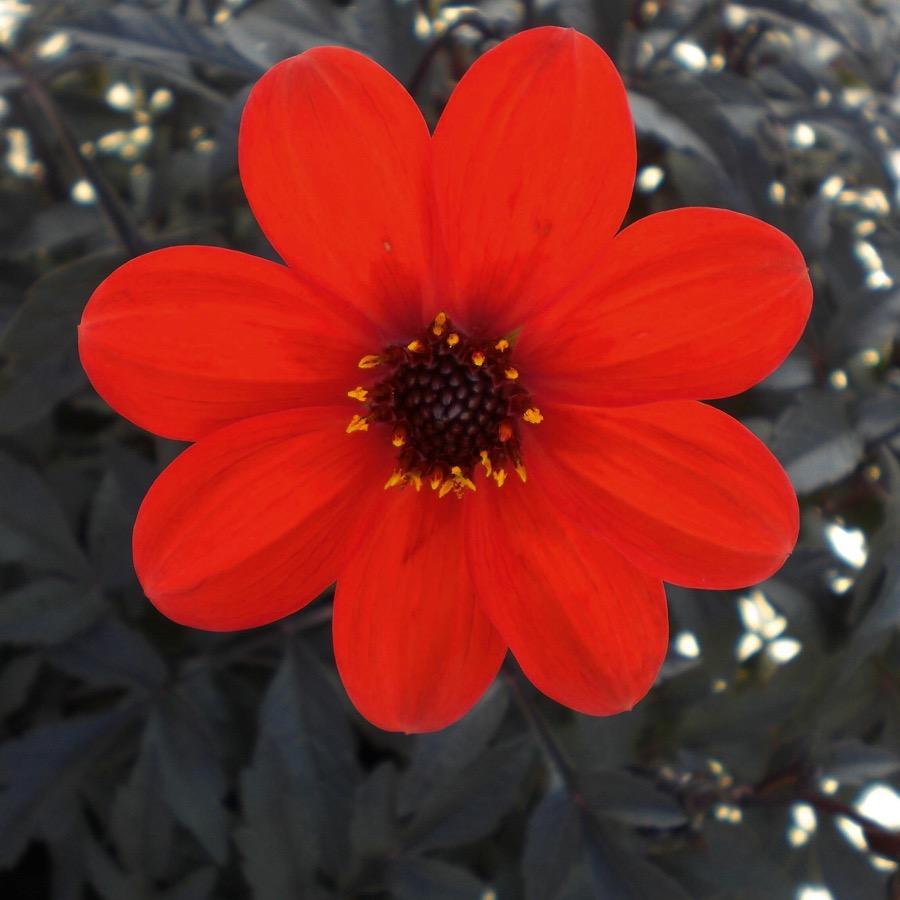 Dahlia Mystic Enchantment - Plante annuelle