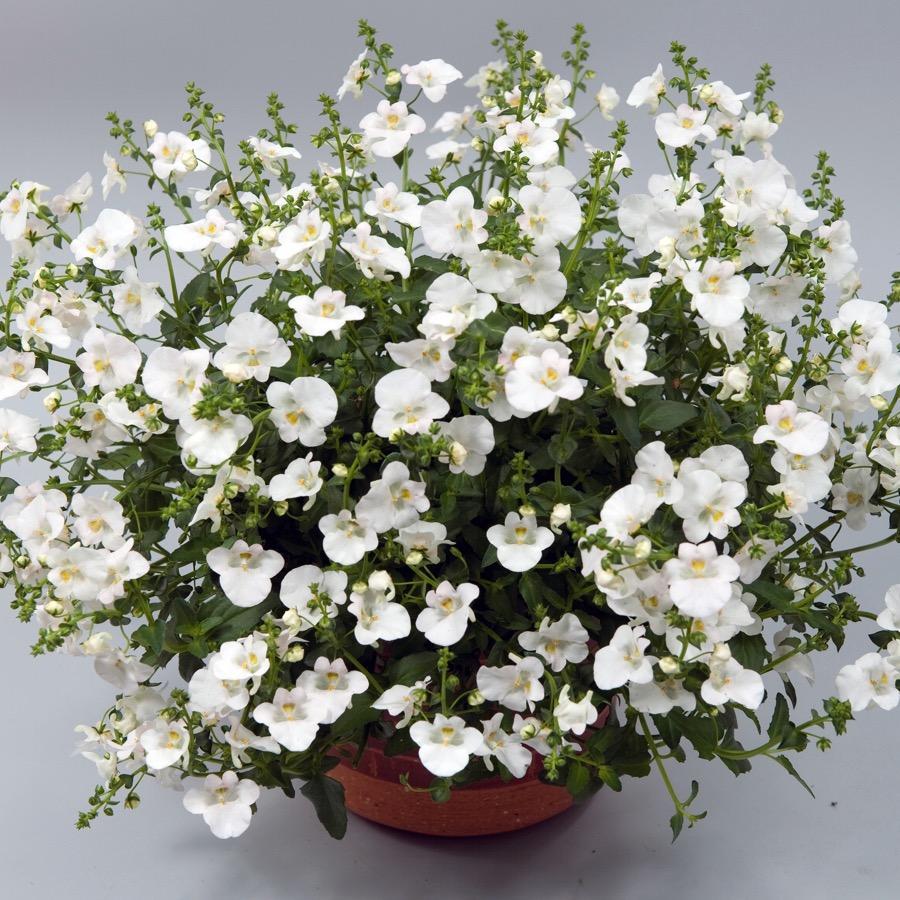 Diascia Genta Classic White - Plante annuelle