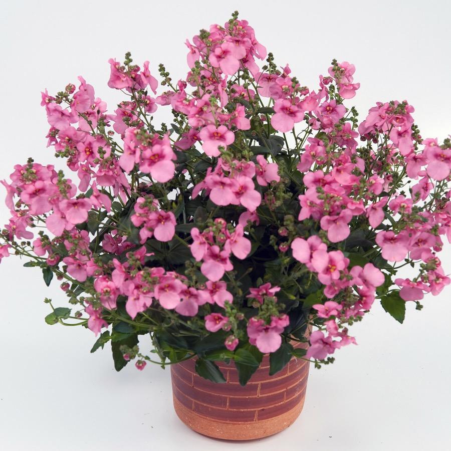 Diascia Genta Pink - Plante annuelle