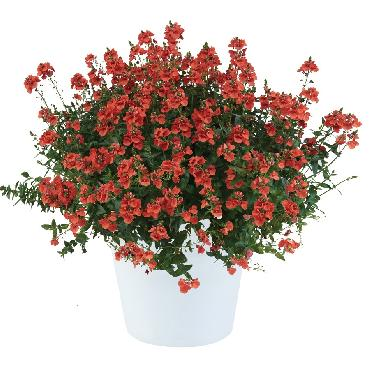 Diascia Trinity Sunset - Plante annuelle