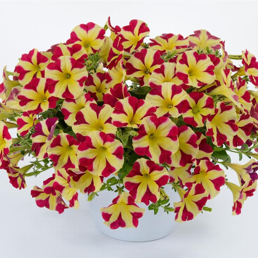 Surfinia Amore Queen of Hearts - Plante annuelle