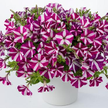 Surfinia Amore Joy - Plante annuelle