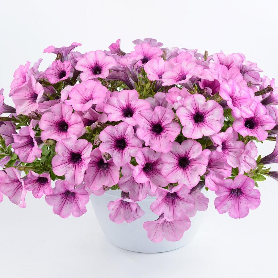Surfinia Capella Pink Lace - Plante annuelle
