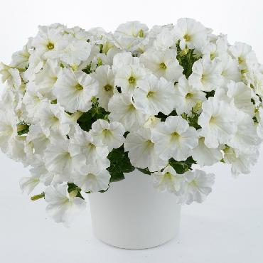 Surfinia Capella White - Plante annuelle