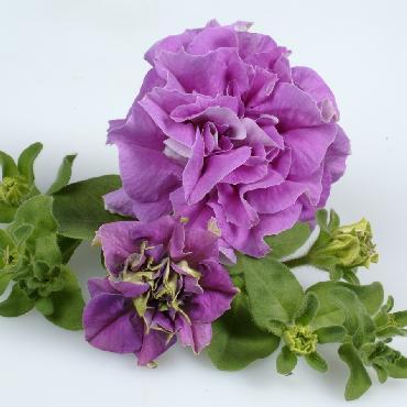 Surfinia Double Lilac - Plante annuelle