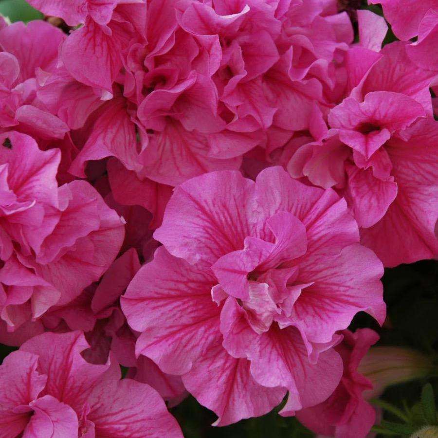 Surfinia Tumbelina Candyfloss - Plante annuelle
