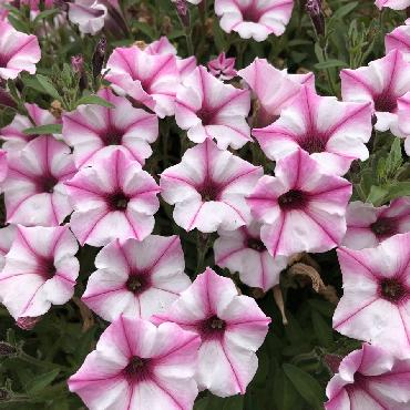 Surfinia Supertunia Pink Star - Plante annuelle
