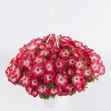 Surfinia Coral Mom - Plante annuelle