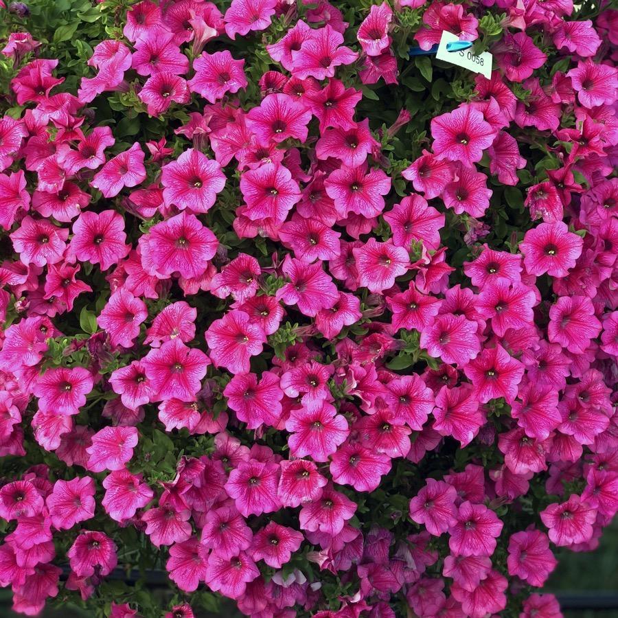 Surfinia Hot Pink - Plante annuelle