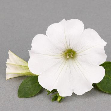 Surfinia Snow - Plante annuelle