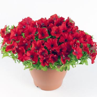 Surfinia Trailing Red - Plante annuelle