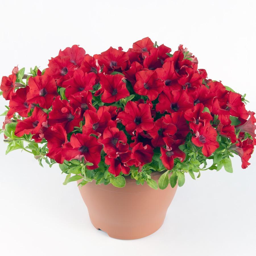 Surfinia Trailing Red - Plante annuelle