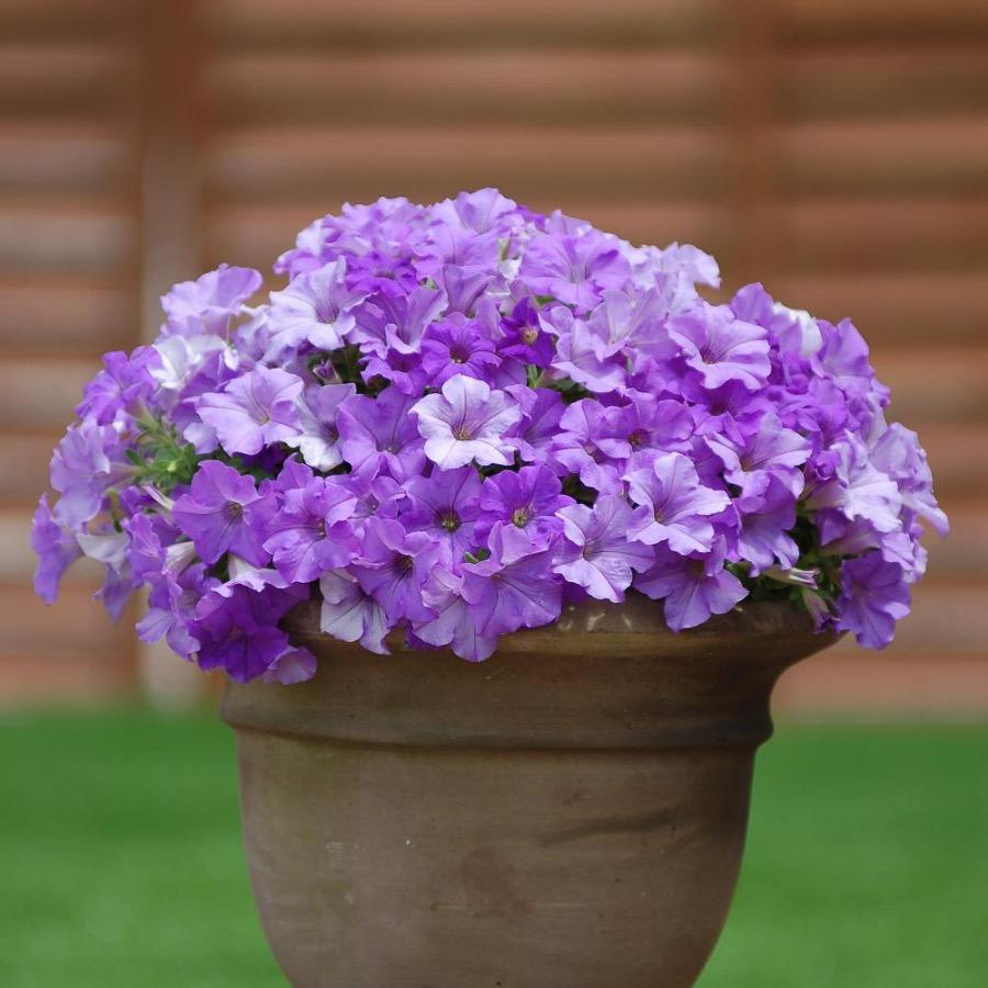 Surfinia Heavenly Blue - Plante annuelle