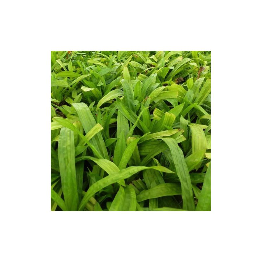 Carex plantaginea