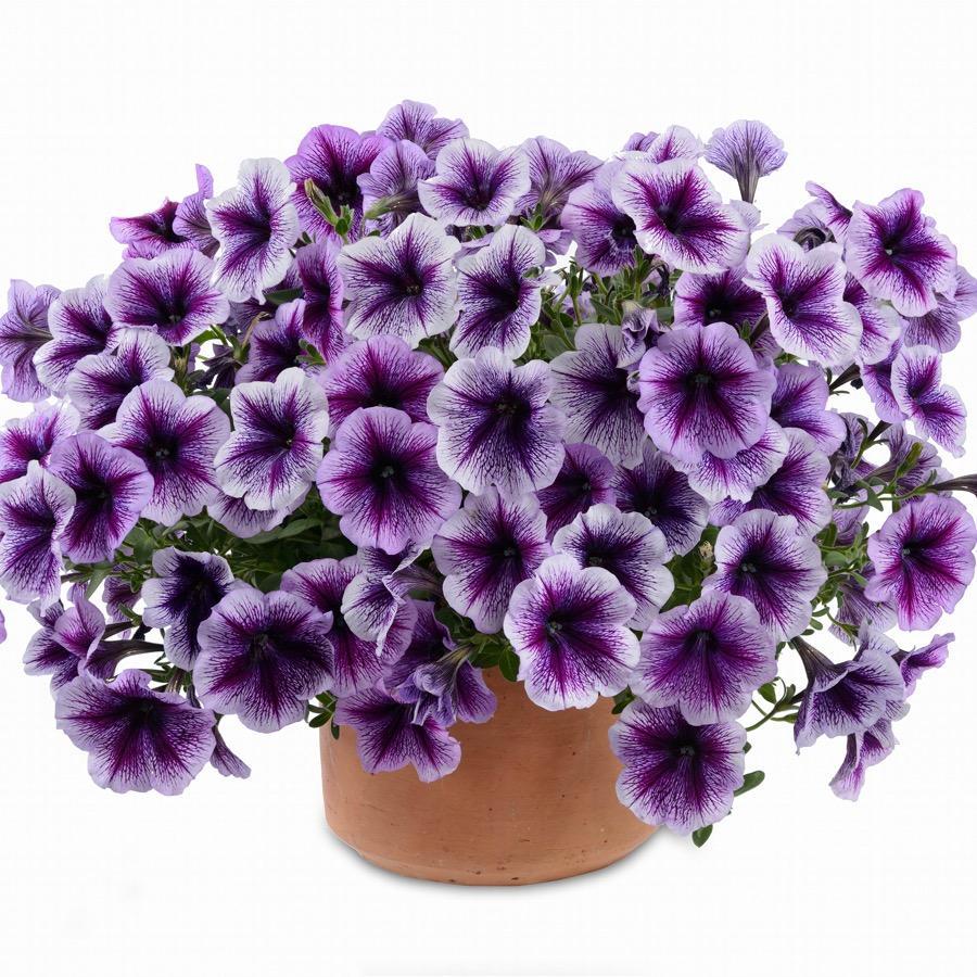 Surfinia Ray Purple Vein - Plante annuelle