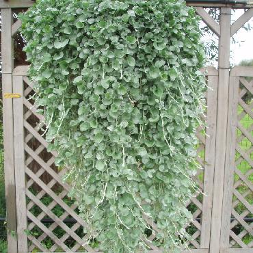 Dichondra micrantha Silver Falls - Plante annuelle