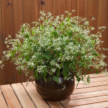 Euphorbia Diwali Shower - Plante annuelle
