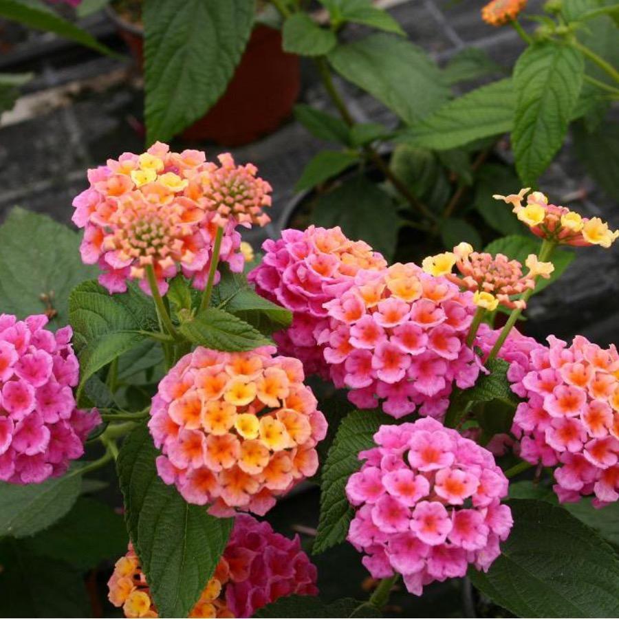 Lantana Evita Rose - Plante annuelle