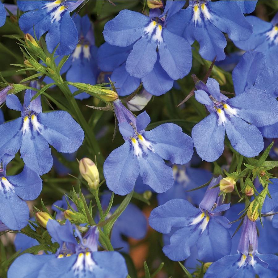 Lobelia Anabel Blue - Plante annuelle